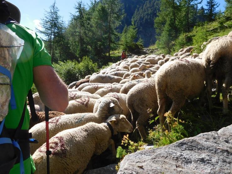 Schapen met herder.jpg